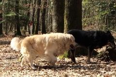 garde de chiens à Allinges (chablais) - Gard éduc canin