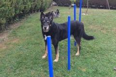 cours d'agility à Allinges (chablais) - Gard éduc canin